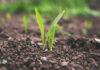 Choroby grzybicze w uprawach zbóż